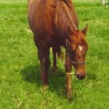 barpenta-horse