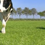 milkway cow
