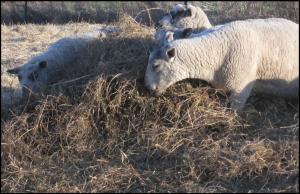 sheep-multipurpose